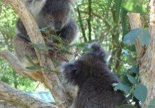 koalas-960227-m1